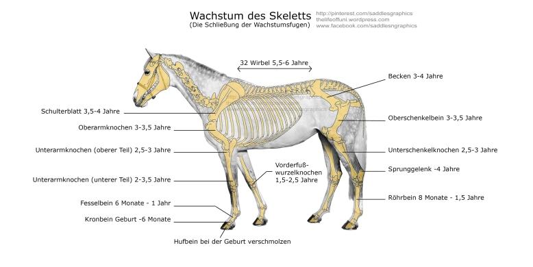 Skelett_Wachstum
